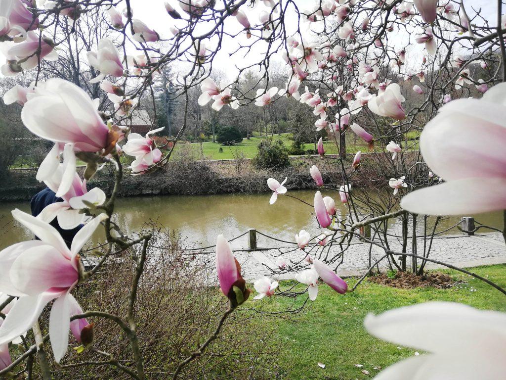 Atatürk Arboretumu-Manolya